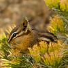 Chipmunck packing its pouch