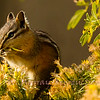 Chipmunk stuffing his pouch with seeds.