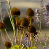 Seed heads in profusion
