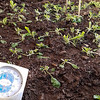 12/31:  We harvested this planting of arugula in the PSG just a couple of weeks ago.  It kept GROWING with NO supp[emental heat until then.  Even now, on the last day of 2017 and after many days of single digit and even subzero temperatures overnight, these tough little plants have not given up!  You can see what the inside temperature was on this afternoon.  I wrote in my calendar that it was -6F when we got up this morning.