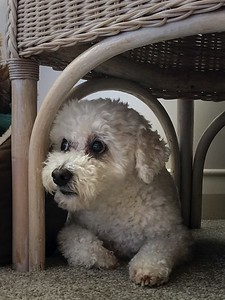 Poppie under chair