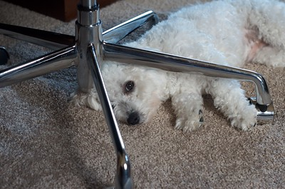 Ellie under my office chair