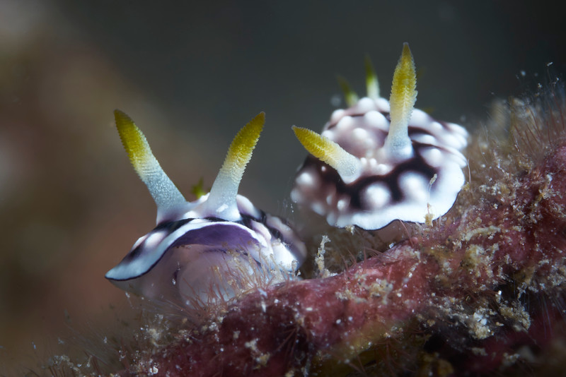 Geometric Chromodoris (Chromodoris geometrica)