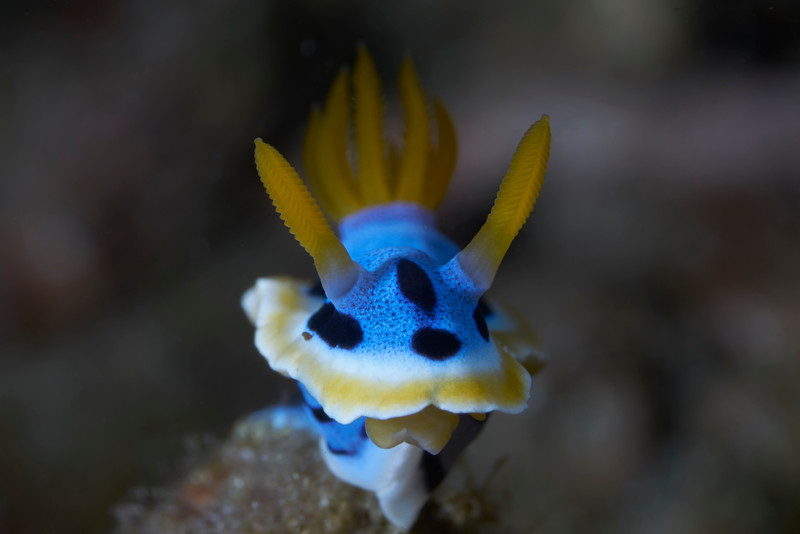 Elisabeth's Chromodoris (Chromodoris elisabethina)