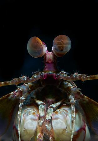 Keel Tail Mantis Shrimp (Odontodactylus cultrifer)