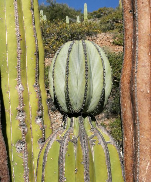 Cardón cactus, Pachycereus pringlei