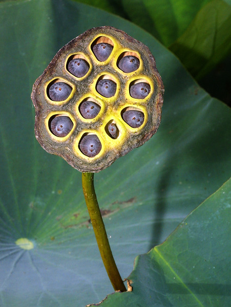 Lotus seed pod, Nelumbo lutea, White lotus