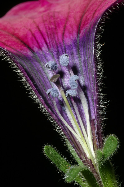 Petunia, Petunia sp.
