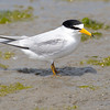Least tern, Sternula antillarum