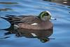 American widgeon, Anas americana