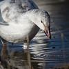 Snow goose, Chen caerulescens, immature