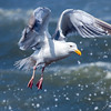 Western gull, Larus occidentalis