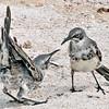 Mockingbird, Mimus parvulus