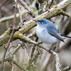 Blue-gray gnatcatcher, Polioptila caerulea