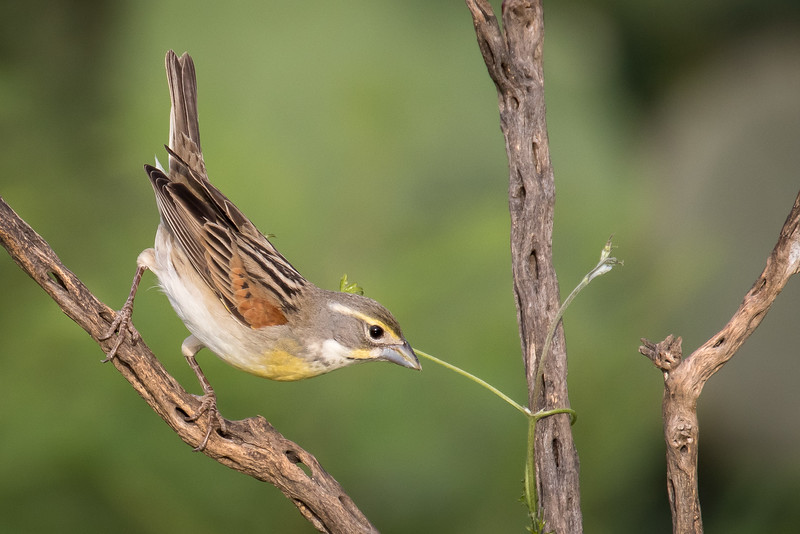Dickcissel, Spiza americana, likely immature male