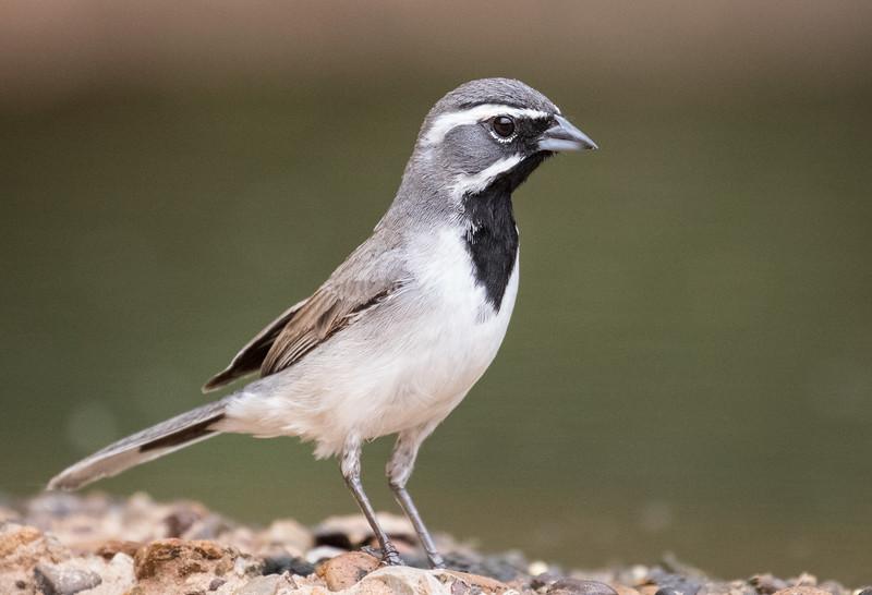 Black-throated sparrow, Amphispiza bilineata