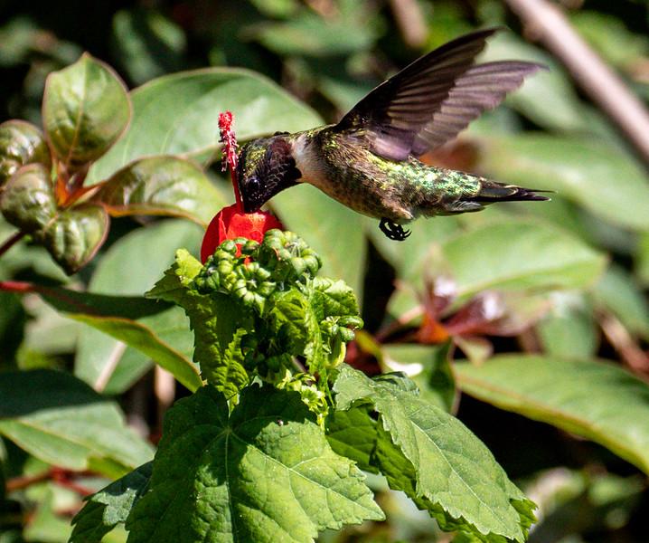 Ruby-throated hummingbird, Archilochus colubris, male