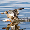 Northern shoveler, Anas clypeata, female