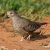 Common ground dove, Columbina passerina