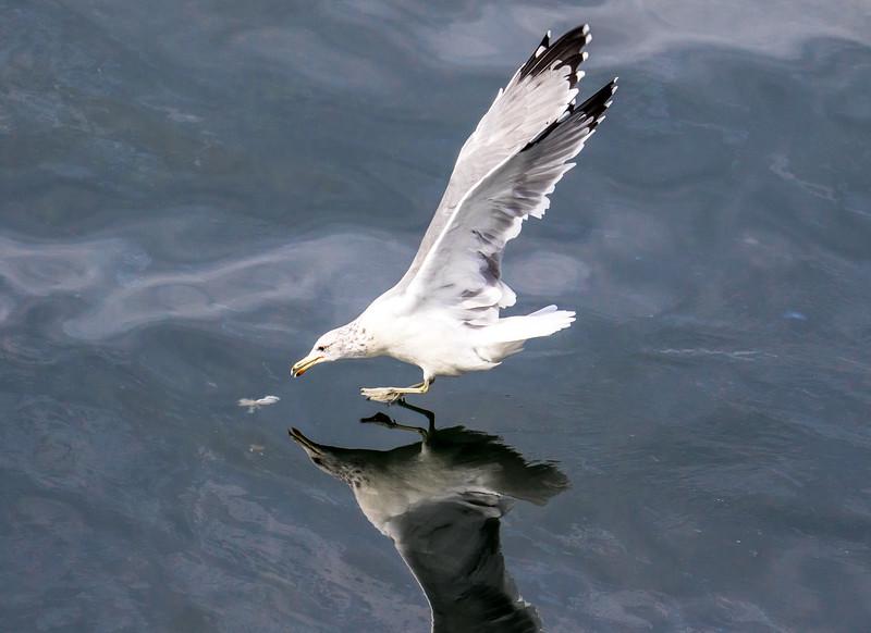 Glaucous-winged gull, Larus glaucescens