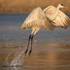 Sandhill crane, Grus canadensis