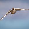 Snow goose, Chen caerulescens