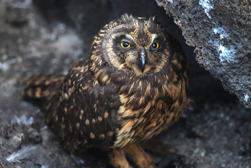 Short-eared owl, Asio flammeus galapagoensis