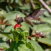 Ruby-throated hummingbird, Archilochus colubris, male
