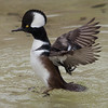 Hooded merganser, Lophodytes cucullatus, male
