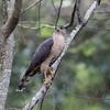 Cooper's hawk, Accipiter cooperi