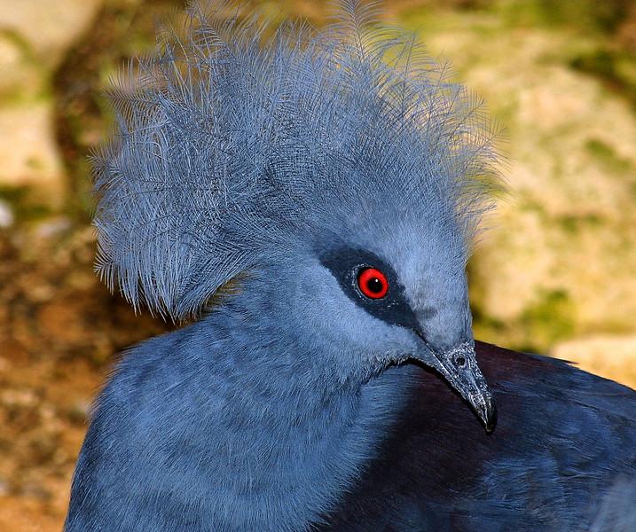 Victorian Crowned Pidgeon, Goura cristata