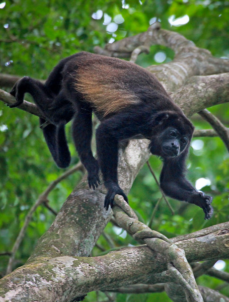 Mantled Howler, Alouatta palliata