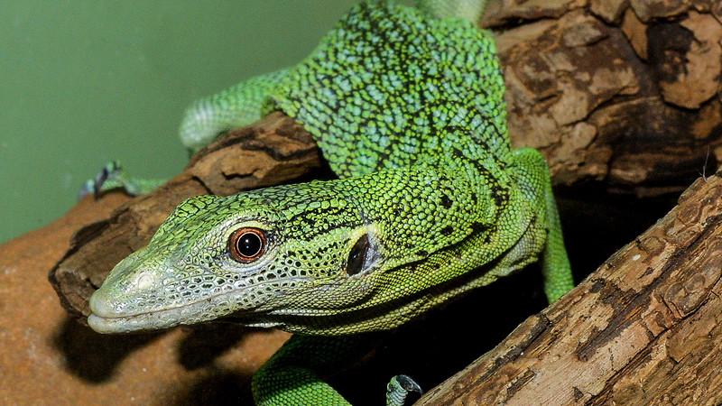 Green tree monitor, Varanus prasinus