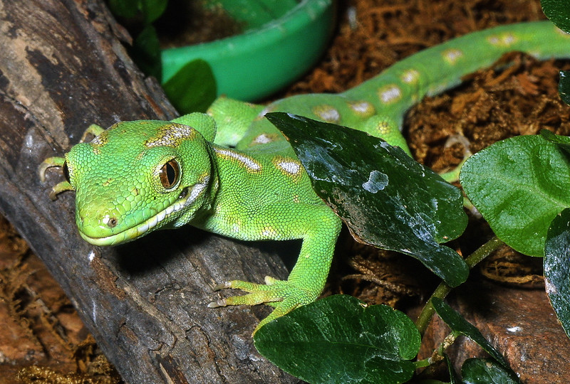Northland Green Gecko,   Naultinus grayi