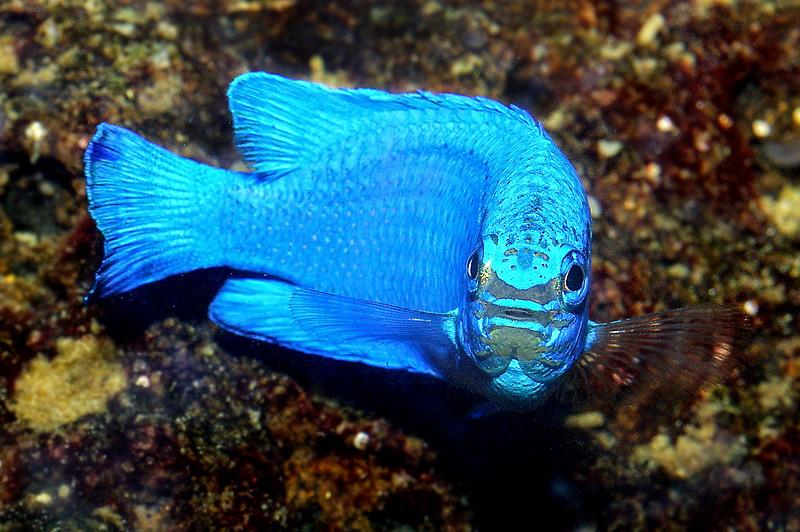 Blue devil, Pomacentrus caeruleus