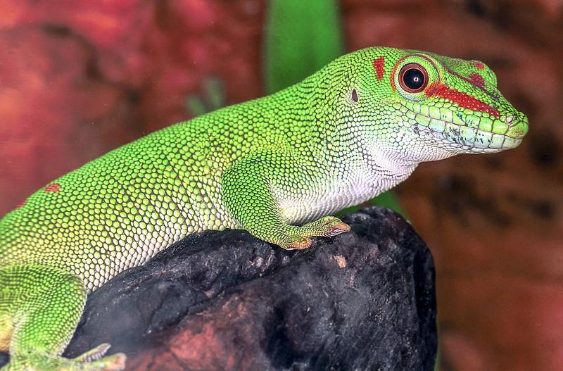 Giant day gecko, Phelsuma grandis