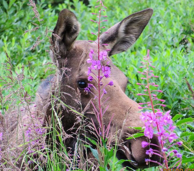 Alaska Moose, Alces alces gigas