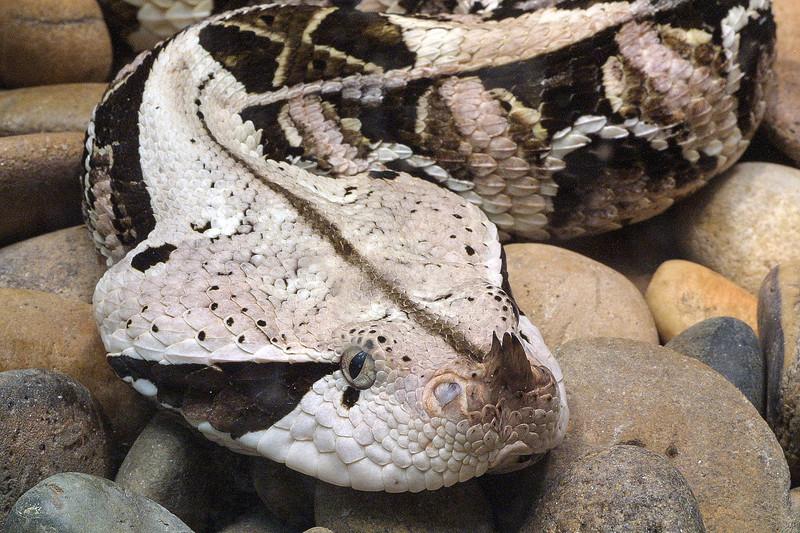 East african gaboon viper, Bitis gabonica gabonica