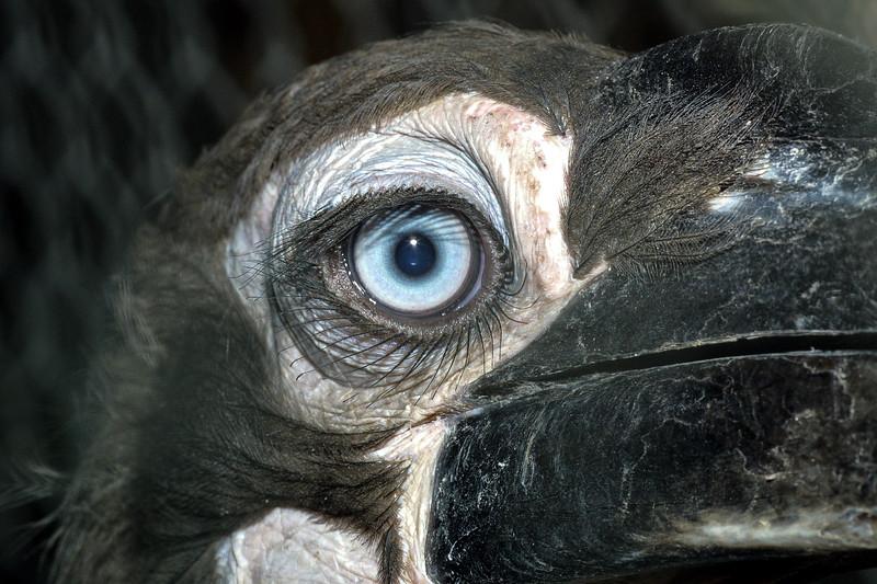 African ground hornbill, Bucorvis leadbeateri