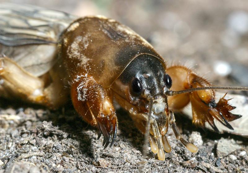 Northern Mole cricket, Neocurtilla hexadactyla