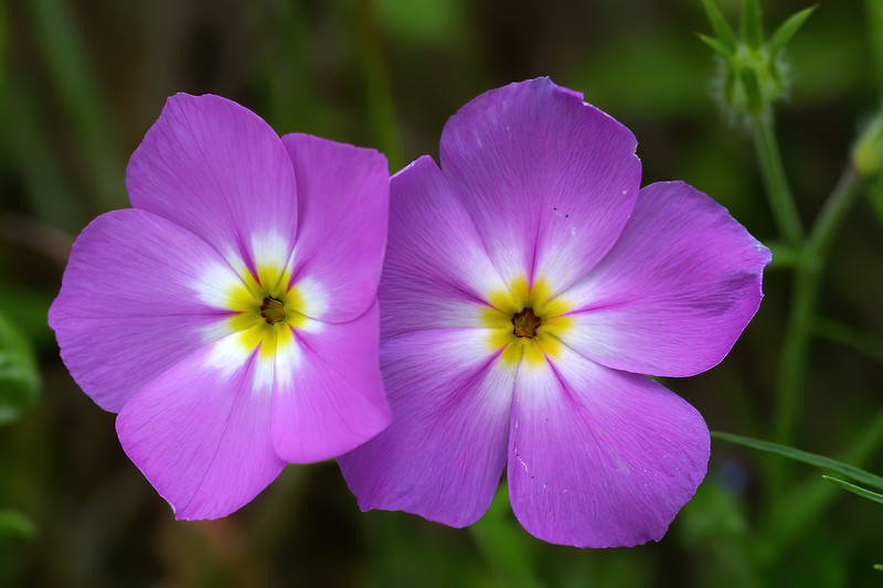 Pink Phlox,   Phlox roemeriana