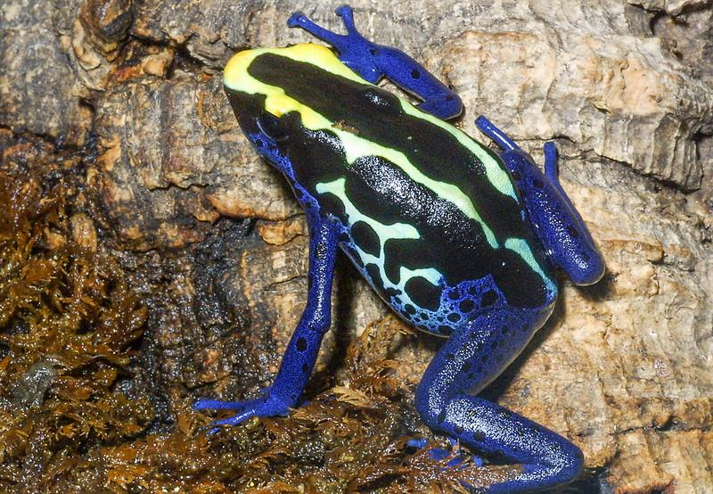 Dyeing poison dart frog, Dendrobates tinctoris
