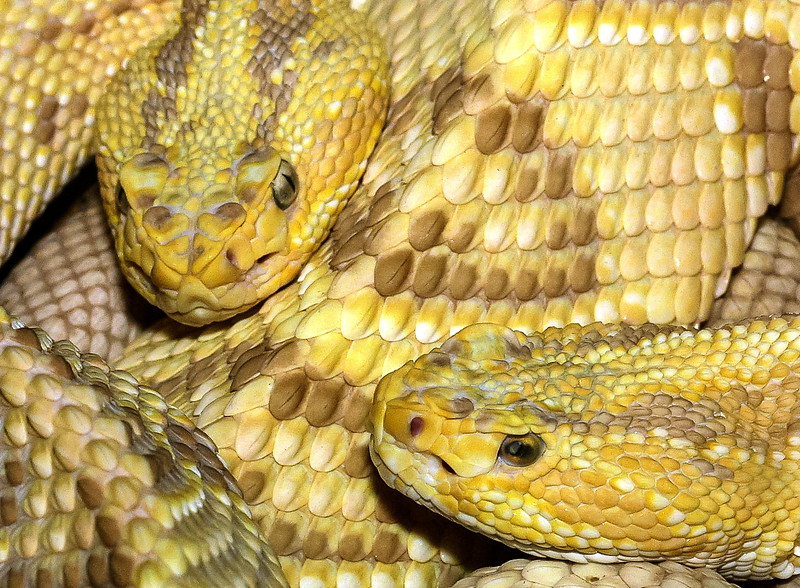 Northwestern Neotropical Rattlesnake, Crotalus durissus culminatus