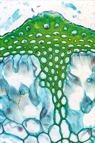 Horsetail Stem x.s.,  Equisetum intermedium