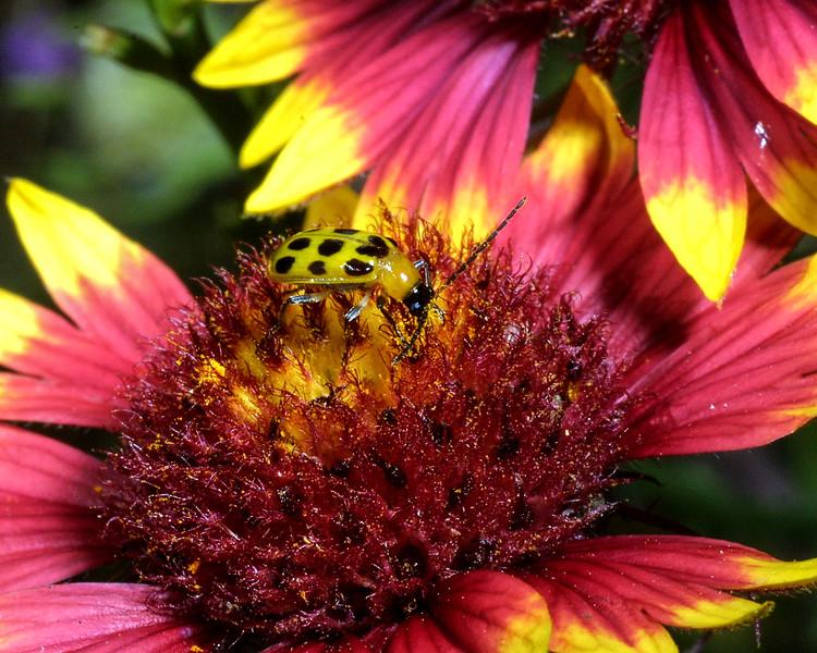 Beetle on Firewheel, Indian Blanket, Diabrotica u. howardi on Gaillardia pulchella
