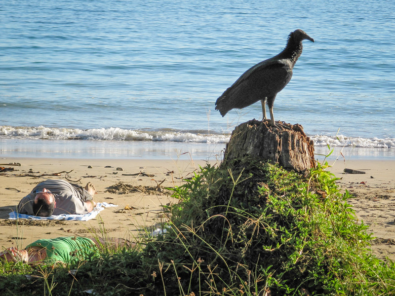 Black vulture, Coragypus atratus
