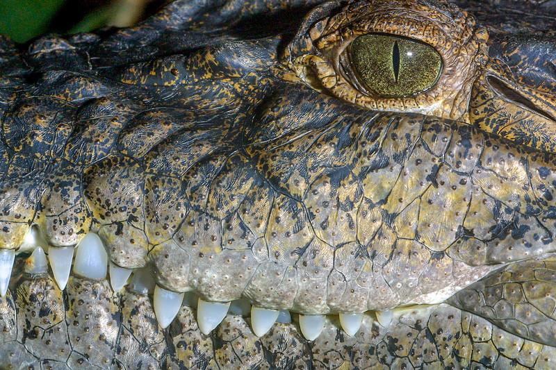 Philipine crocodile, Crocodylus mindorensis