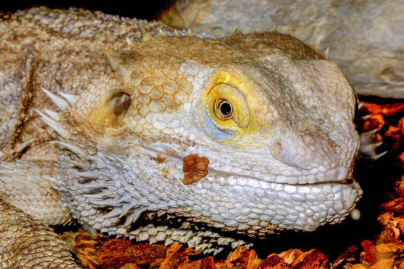 Bearded dragon, Pogona vitticeps