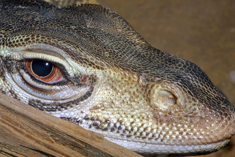 Gould's Monitor, Varanus gouldii