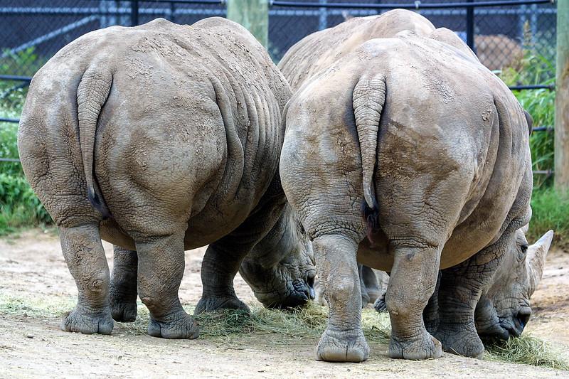 White rhinoceros, Ceratotherium simum